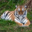Female Amur Tiger resting in green grass — Stock Photo #35691001