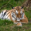Female Amur Tiger resting in green grass — Stock Photo #35691049