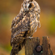 Long Eared Owl — Stock Photo #35691309