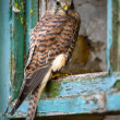 Kestrel perched in the window frame of an old farmhouse — Foto Stock