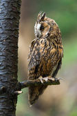 Long Eared Owl perched on the branch of a tree — Stock Photo