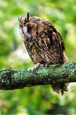 Long Eared Owl against a background of green foliage — Stock Photo