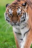 Female Amur Tiger walking toward viewer — Stock Photo