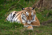 Female Amur Tiger resting in green grass — Stock Photo