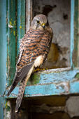 Kestrel perched in the window frame of an old farmhouse — Stock Photo