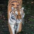 SiberiTiger — Stock Photo #39655131