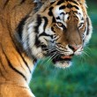 SiberiTiger — Stock Photo #39655747