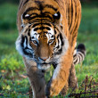 SiberiTiger — Stock Photo #39656411