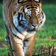 SiberiTiger — Stock Photo #39656503