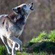 Grey Wolf (canis lupus) — Stock Photo #46055591