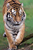 Siberian Tiger (panthera tigris) — Stock Photo