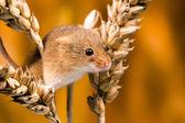 Field Mouse (apodemus sylvaticus) — Foto de Stock