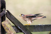 Kestrel on fence (falco tinnunculus) — Stock Photo