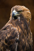 Aquila reale (Aquila chrysaetos) — Foto Stock