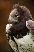 Martial Eagle (polemaetus bellicosus) — Stockfoto