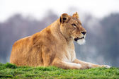 Lioness Landscape (panthera leo) — Stock Photo