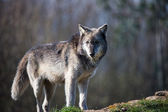 Grey Wolf (canis lupus) — Stock Photo