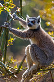 Ring Tailed Lemur (lemur catta) — Stock Photo