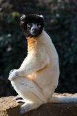 Crowned Sifaka (propithecus coronatus) — Stock Photo