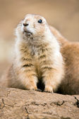 Prairie Dog (cynomys ludovicianus) — Stock Photo