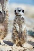 Meerkat Portrait (suricata suricatta) — Stock Photo