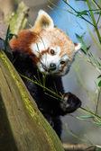 Red Panda (ailurus fulgens) — Stock Photo