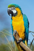 Macaw Parrot (ara ararauna) — Stock Photo