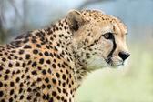 Cheetah Profile (acinonyx jubatus) — Stock Photo