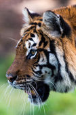 Bengal Tiger (panthera tigris tigris) — Stock Photo