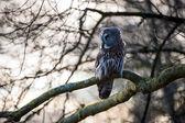 Great Grey Owl (Strix nebulosa) — Photo