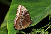 Blue Morpho Butterfly (morpho peleides) — Stock Photo