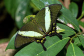 Emerald Swallowtail Butterfly (papilio palinurus) — Stock Photo