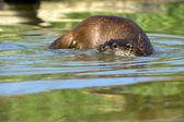European Otter (lutra lutra) — Stock Photo