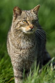 Scottish Wildcat (felis silvestris grampia) — Stock Photo