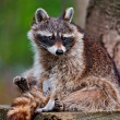 Beautiful Raccoon — Stock Photo
