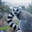 Lemur Isolated — Stock Photo