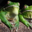 Green Toads — Stock Photo