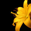 Yellow Lilly Flower — Stock Photo