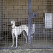 Stock Photo: Greyhound caged