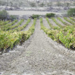 Stock Photo: Wine vineyard