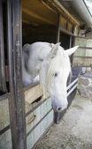 White Horse — Foto de Stock