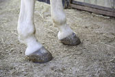 Feet horse hoof — Stock Photo