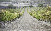 Wine vineyard — Stock Photo