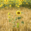 Sunflowers in the field — Stock Photo #12634254