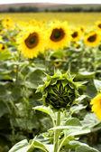 ヒマワリ芽 — ストック写真
