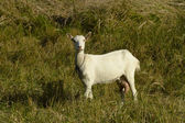 Portret koza — Zdjęcie stockowe