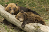 Sleeping bear cub — Stock Photo