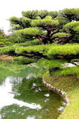 Tree in japanese garden — Stock Photo