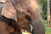 Elephant cry — Stock Photo