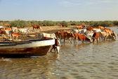 Cows in Djoudj reserve — Stock Photo